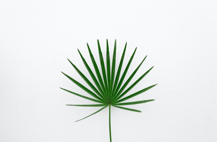 palma sabalowa saw palmetto